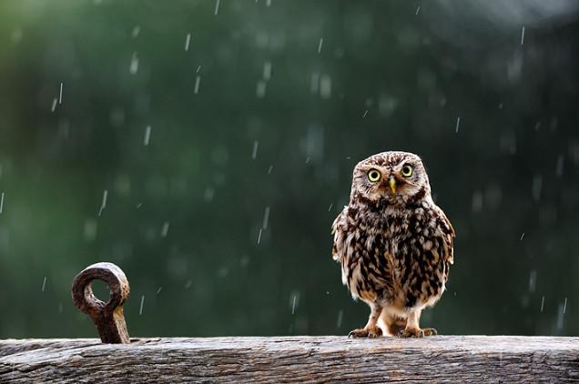 Сова под дождем. Craig Churchill.