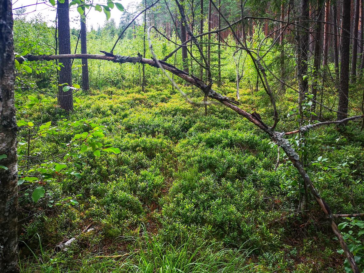 белорусский лес