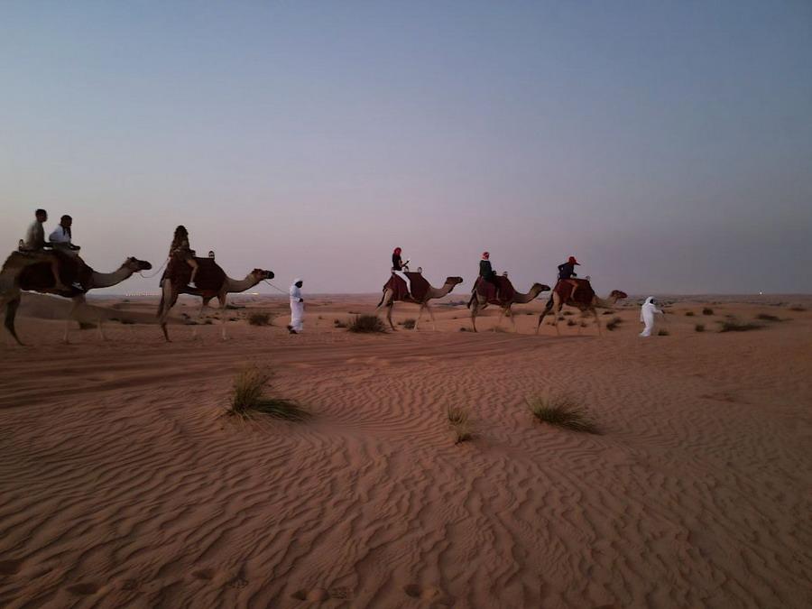camels uae